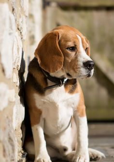 There is no other breed of dog for me! Love beagles. :)