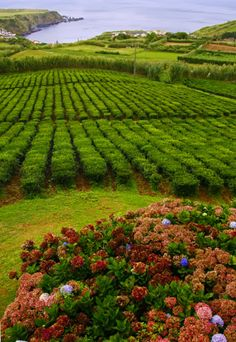 Porto Formoso Tea Plantation, São Miguel Island, Azores and most populous island in the Portuguese archipelago of the Azores Azores Portugal, Visit Portugal, Spain And Portugal, Portugal Travel, Sao Miguel Azores, Beautiful Islands, Beautiful Places, Places To Travel, Places To See