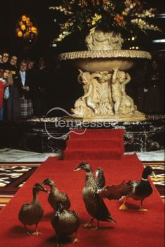 USA - Peabody Ducks @ the Peabody Hotel in Memphis. My duck name is Mr. Peabody that's too cool