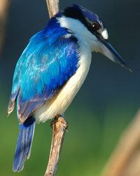 Forest Kingfisher.                                                                                                                                                      More