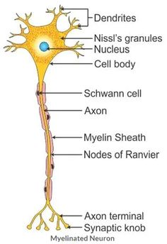 Medical Laboratory Science, Science Biology, Life Science, Nervous System Anatomy, Nervous System Diagram, Basic Anatomy And Physiology, Science Diagrams, Basic Physics, Teaching