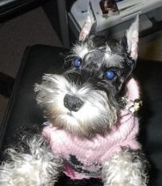 This is Tess a darling little mini schnauzer
