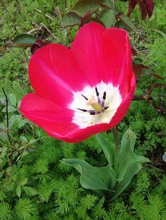 Fab tulip