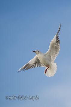 fliegende Möwe vor blauem Himmel im November