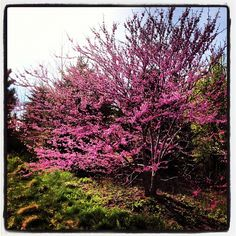 Redbud at Frederick Meijer Botanical Gardens. Grand Rapids, Michigan