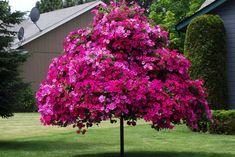 Petunia tree I want this tree!!