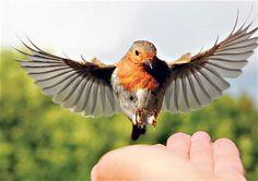 uk robin bird - Google Search
