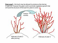 Pruning Young Blueberry Plants - First crop? | The NC Blueberry Journal