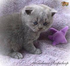 Lovely Blue Registered BSH Kittens   Walsall, West Midlands   Pets4Homes Pet Breeds, Puppy Breeds, Cat Skin, British Shorthair Kittens, Walsall, Animal Activities, West Midlands, Pet Shop