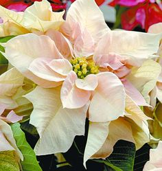 New Poinsettia Colors | While red is still king, poinsettias are coming in many colors and ...