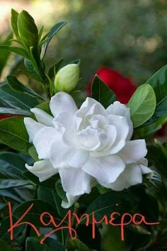 Monrovia's Everblooming Gardenia details and information. Learn more about Monrovia plants and best practices for best possible plant performance. My Flower, Pretty Flowers, White Flowers, Anemone Flower, Spring Flowers, Red Roses, Gardenias, Gardenia Bush, White Gardenia