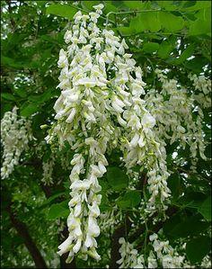 Cladrastis kentukea, The American Yellowwood