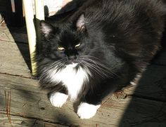 BoBo catching some warm sun rays on a chilly day. He is a long-haired tuxedo cat.
