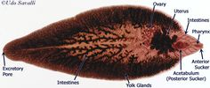 fasciola hepatica slide - Google Search