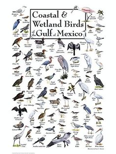 Amazing Birds Of Florida Gulf Coast Together With Coastal & Wetland Birds Of The Gulf Of Mexico Bird Identification, Water Poster, Venice Florida, Viewing Wildlife, Backyard Birds, Gulf Of Mexico, Sea Birds, Florida Travel, Animals Of The World