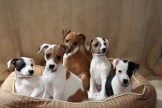 one of these cute little itaian greyhounds  and a bernese mt dog = my future puppies...they'll make a good team :)