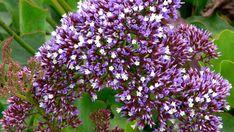 Statice - (limonium  perezil). Long-lasting flowers low maintenance, drought tolerant. Look at putting it along the gravel path. Loves full sun.