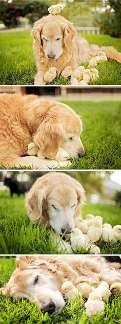Cute and Fluffy Baby Chicks with a Golden Retriever