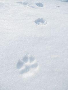 雪面に残されたキタキツネの綺麗な足跡、北海道で。Setsumen ni nokosareta kita kitsune no kirei na ashiato, Hokkaidou de. Jejak kaki cantik rubah utara yang tertinggal di permukaan salju, di Hokkaido.