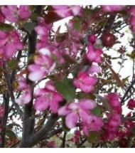 Crabapple/ Velvet Pillar | Pinelane Nursery  A great columnar small yard tree with purple foliage and pink flowers.