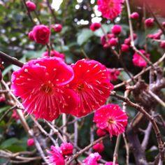 櫛田神社の紅梅