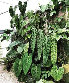 Houseplants That Filter the Air We Breathe Philodendron Goals Nsetropicals Rare Plants, Exotic Plants, House Plants Decor, Plant Decor, Tropical Garden, Tropical Plants, Indoor Garden, Indoor Plants, Plants Are Friends