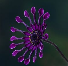 """500px / Photo """"African Daisy"""" by Shirley Jean"""