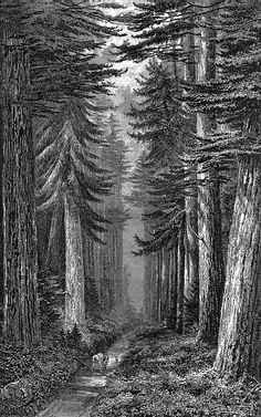 Redwoods Engraving