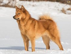 Image result for finnish spitz