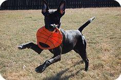 CHICAGO, IL - Labrador Retriever/Australian Shepherd Mix. Meet LILLY a Puppy for Adoption.