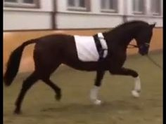 www.sporthorses-online.com 2013 Hanoverian dressage stallion for sale