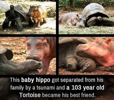 Baby hippo was separated from his family.