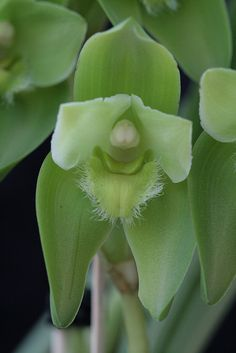 Orchid: Lycaste reichenbachii - Flickr - Photo Sharing!