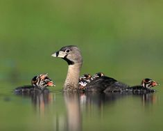 Pied-billed Grebe (Podilymbus podiceps antarcticus) The most widespread grebe in the New World.