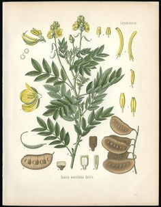 True Senna Plant, used by ancient Egyptian priestesses/priests doctors in the House of Life (Hospital) of the Temples to relieve constipation. The dried leaves of Senna Alexandrina (Egyptian Senna) contain glycosides that increase gastric fluid secretion and bowel motility, producing laxative action. Art by Herman Adolph Kohler 1887.