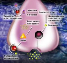 FIBROMIALGIA: Serotonina