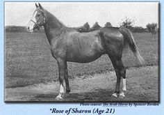 *Rose of Sharon  AHR #246 (GSB #108)  Color: Chestnut Sex: Mare Foaled: May 12, 1885  Sire: Hadban (Desert Bred)  Dam: Rodania (Desert Bred)  Breeder: Crabbet Arabian Stud. Sussex, England