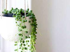 Senecio rowleyanus- eine Perlenkette 'String of Pearls' S Garten & Terrasse