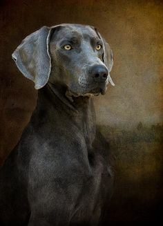 Blue Weimaraner - Renaissance Blue by Leslie Nicole Photography, via Flickr