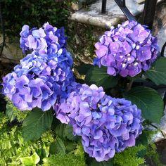 Southern Hydrangeas my favorite summer flower.