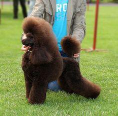 Nutlee Lingrey Suey - Poodles In Scandinavia