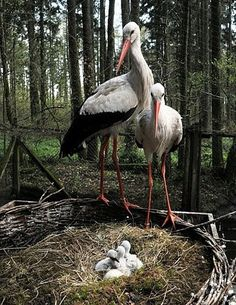 Storks take care of their young at Wildpark in Eekholt, Germany. (Photo credit: PA/CARSTEN REHDER)