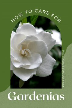 Gardenias make magical additions to cottage gardens and traditional gardens and can transform your garden when used as hedges, border plants, patio accents, or even grown as houseplants. Follow these tips on gardenia plant care, so you can successfully grow these sweet-scented treasures year after year. #cutflowers #flowergardening #cottagegarden #gardencaretips Dwarf Gardenia, Acid Loving Plants, Border Plants, Gardenias, Organic Soil, Root System, Garden Care, Outdoor Plants, Plant Care