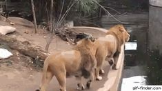 Even lions have embarrassing moments