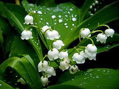 Lilies of the Valley, mom's favorite!