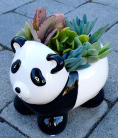 Panda Living Succulent plant for Baby Shower Gift by WoogiesPlace