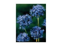 Blå prydløg. Allium azureum løg.
