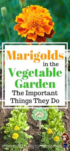 marigolds in garden Marigolds in the vegetable garden, the top 6 reasons you should be planting marigolds in the vegetable garden for amazing benefits. Starting A Vegetable Garden, Backyard Vegetable Gardens, Vegetable Garden Design, Veg Garden, Marigolds In Garden, Garden Pests, Growing Marigolds, Organic Vegetables, Growing Vegetables