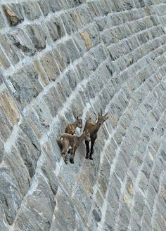 """Goats on a MANMADE """"cliff""""! From a collection titled """"These 36 Goats On Cliffs Don't Know What Fear Is 