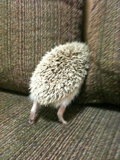 Hedgehog attempting to burrow